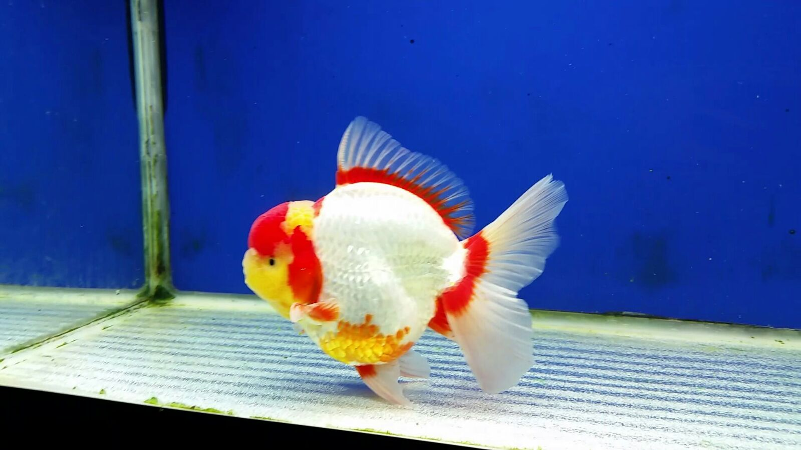 Limas Farm - Pioneer of Indonesia High Quality Goldfish
