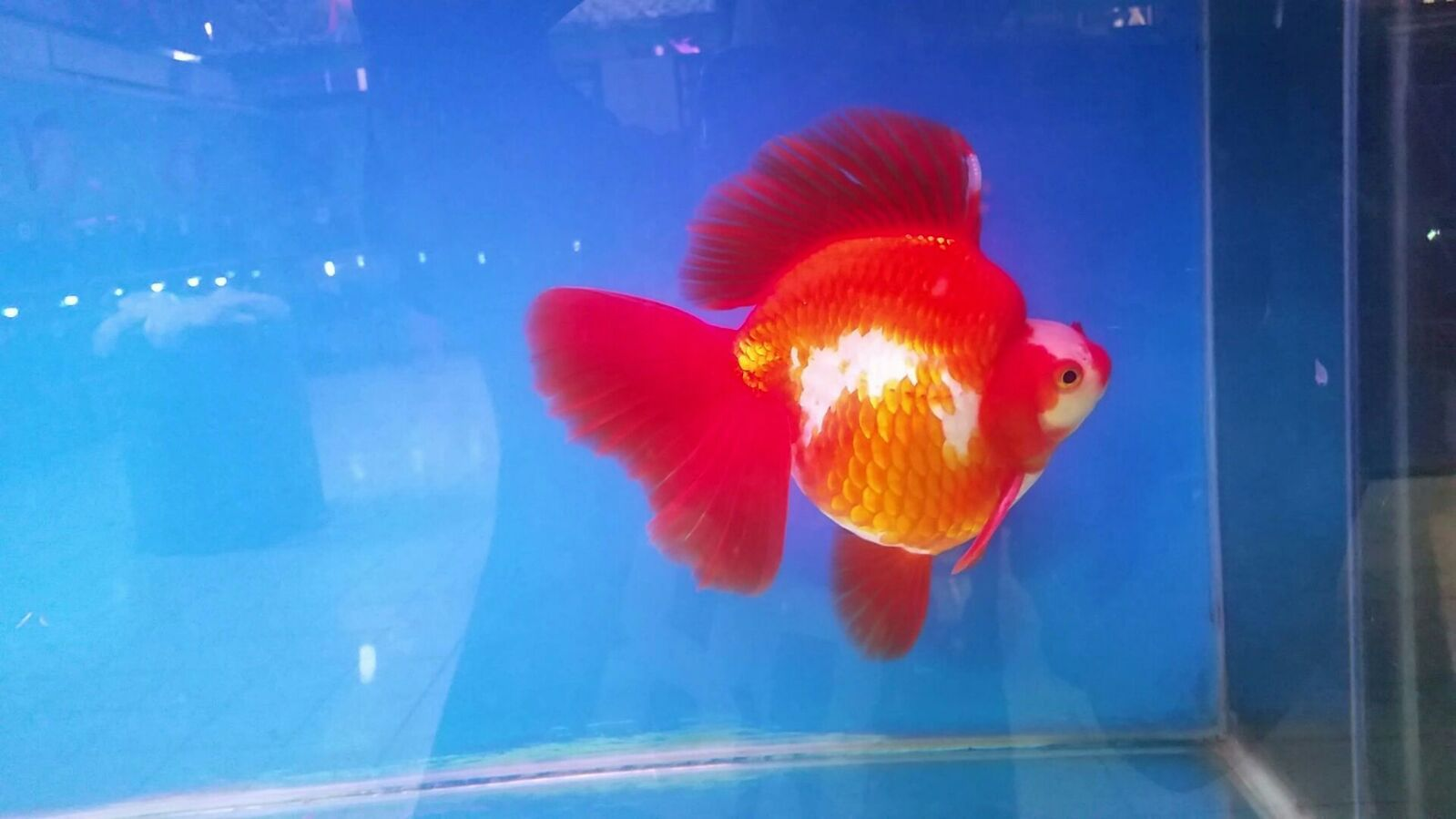 Limas Farm - Pioneer of Indonesia High Quality Goldfish